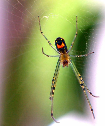 bottom view, Laucauge Venusta/Orchard Spider?
