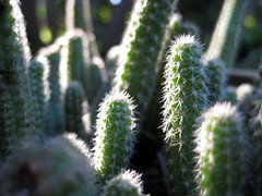 cactus in the sun (parttimefarm) Tags: cactus plants sunlight green brasil chacara echapora