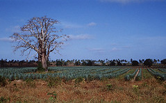 Baobab and sisal, near Mombassa, Kenya, 1995