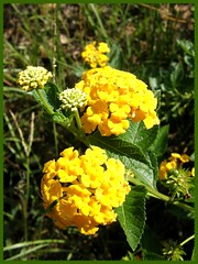 Gold Lantana with Blooms (sponytales2000) Tags: lantana naturelovers szembeszk