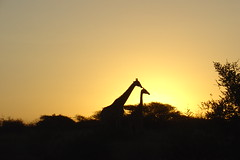 Giraffes at dawn, Kruger Park, South Africa (PhilipFr) Tags: giraffe krugerpark naturesfinest 2pair theunforgettablepictures