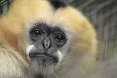 Gibbon (howardpennphoto) Tags: zoo pittsburgh ape primate gibbon whitecheekedgibbon impressedbeauty howardpennphoto chowardpenn2008