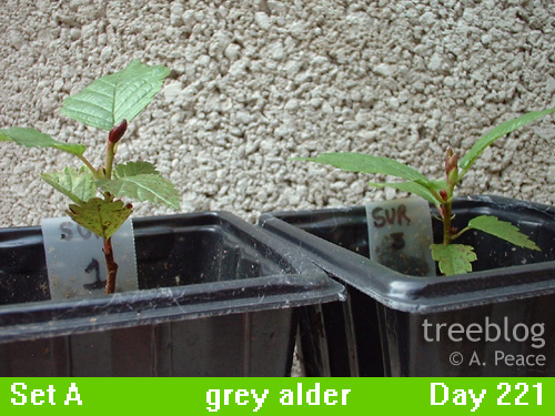 grey alders Numbers 1 and 3