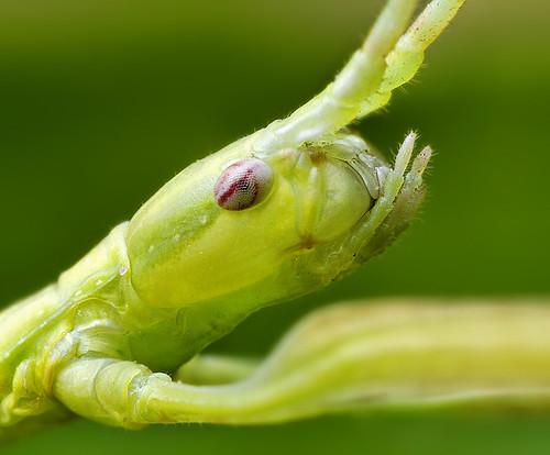 Walking Stick Head - (Phasmatodea)