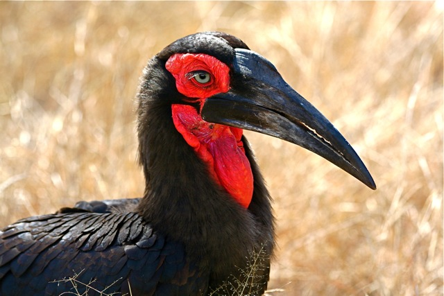 day 8: H1-2: southern ground hornbill