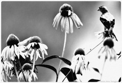 Hello little bird. (patmccuephotography) Tags: flowers ohio usa bird beautiful garden vibrant cincinnati sunny