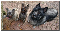 Three Amigos! (Fraggle Red) Tags: dogs animals notmine florida miami canine benny virgil cairnterrier k9 keeshond 8months dogsitting coconutgrove 2years happyfurryfriday hff canonefs1022mmf3545usm 15years idgy totalphoto mywinners miamidadeco threeamigos
