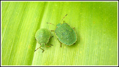 GreenShieldbugs copy