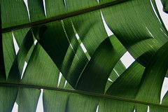 heliconia (*omnia*) Tags: green topf25 leaves leaf heliconia coffsharbour pc2450