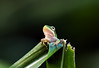 Made it, Ma! Top of the World! (edwardleger) Tags: green nature little frog 2008 theperfectphotographer edwardleger exquisiteimage edwardnleger