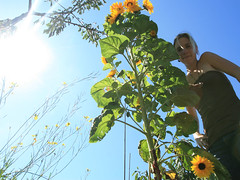 My Favourite Flowers! (CrzysChick) Tags: flowers summer sun selfportrait flower me nature self myself sunny fave sp sunflowers sunflower flare tall sunflare