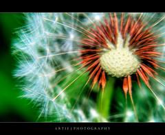 Sputnik Golfball :: HDR (:: Artie | Photography ::) Tags: macro photoshop canon cs2 tripod kitlens australia dandelion seeds adelaide 1855mm southaustralia efs hdr pores artie 3xp photomatix tonemapping tonemap 400d rebelxti
