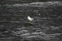 IMG_4861 (rthurzo) Tags: autumn river ottawa