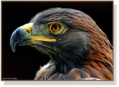 Eagle Eye (West County Camera) Tags: goldeneagle golddragon panoramafotogrfico natureselegantshots theperfectphotographer specanimal theunforgettablepictures rubyphotographer specialtouch allnaturesparadise mygearandme mygearandmepremium mygearandmebronze ngc allofnatureswildlifelevel1 allofnatureswildlifelevel2 allofnatureswildlifelevel3 npc mygearandmesilver mygearandmegold mygearandmeplatinum mygearandmediamond allofnatureswildlifelevel4 allofnatureswildlifelevel5 allofnatureswildlifelevel6 allofnatureswildlifelevel7 allofnatureswildlifelevel8 allofnatureswildlifelevel9 allofnatureswildlifelevel10