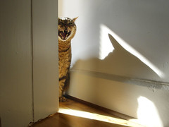 """inspired by: Agatha Christie's """"The Evil Under The Sun"""" (Coquine!) Tags: cat dangerous teeth evil tommy gato katze kater gatito agathachristie christianleyk"""