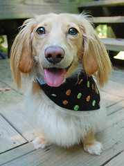 Happy Honey (Doxieone) Tags: orange dog cute green english fall halloween pumpkin long cream dachshund honey blonde bandana 2008 haired 31 coll longhaired honeydog englishcream halloweenfall2008set