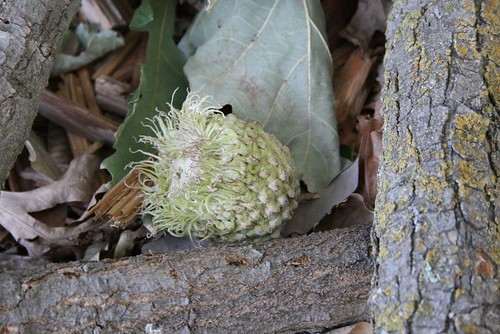 acorn from bur oak
