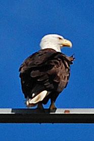 Bald Eagle, Excerpt