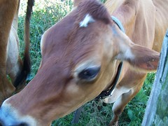 Cow (polishedtwo) Tags: animal cow farm massachusetts wilcox dairy bovine alford