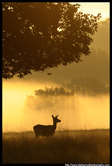 Hind at Sunrise - 2 (Dan Harrod) Tags: uk morning autumn trees sun mist fall grass silhouette sunrise dawn nikon hind reddeer richmondpark d300 bellow nikon80400mm reddeerrut britishwildlifeandnature