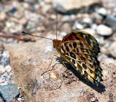 histoire d'orange #3 (xeno(x)) Tags: color macro art nature butterfly asia 2008 xeno 40d abigfave