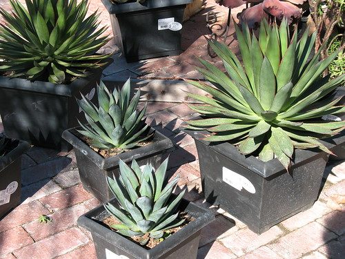 blue glow agaves hand picked by marina del rey garden center staff Cathy