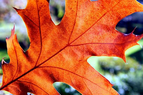 Folla Quercus rubra
