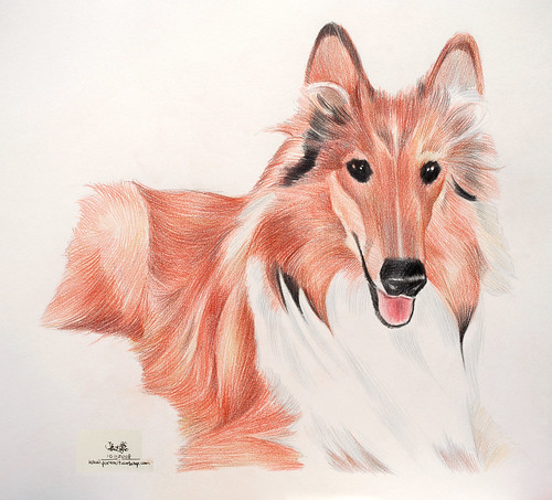 Dog portrait in colourpencil