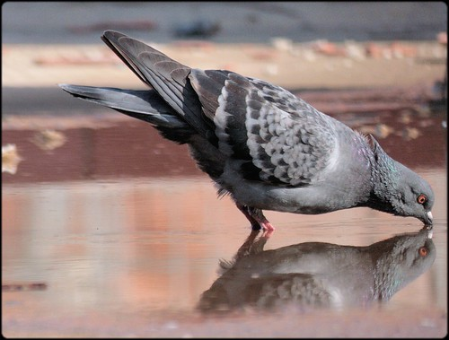 mirror of pigeon