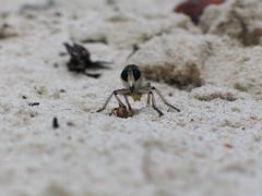 asilid (S_Crews) Tags: insect island fly sand robberfly caribbean bahamas predator arthropod diptera asilidae stockingisland needsid