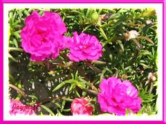 Portulaca grandiflora 'Sundial Fuchsia'