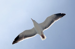 Jonathon Livingston Seagull (MMGoode) Tags: blue sky bird rock flying wings place you 1st seagull feathers hero winner bigmomma gamewinner babymomma challengeyouwinner pfogold pfosilver friendlychallenges herowinner pregamewinner fotocompetition|fotocompetitionbronze