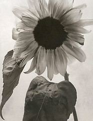 Sunflower (artblackandwhite) Tags: flowers blackandwhite bw stilllife macro floral studio botanical platinum limitededition palladium largeformat artprint contactprint digitalnegative altprocess alternativeprocesses paradisi lucaparadisi fineartplatinum