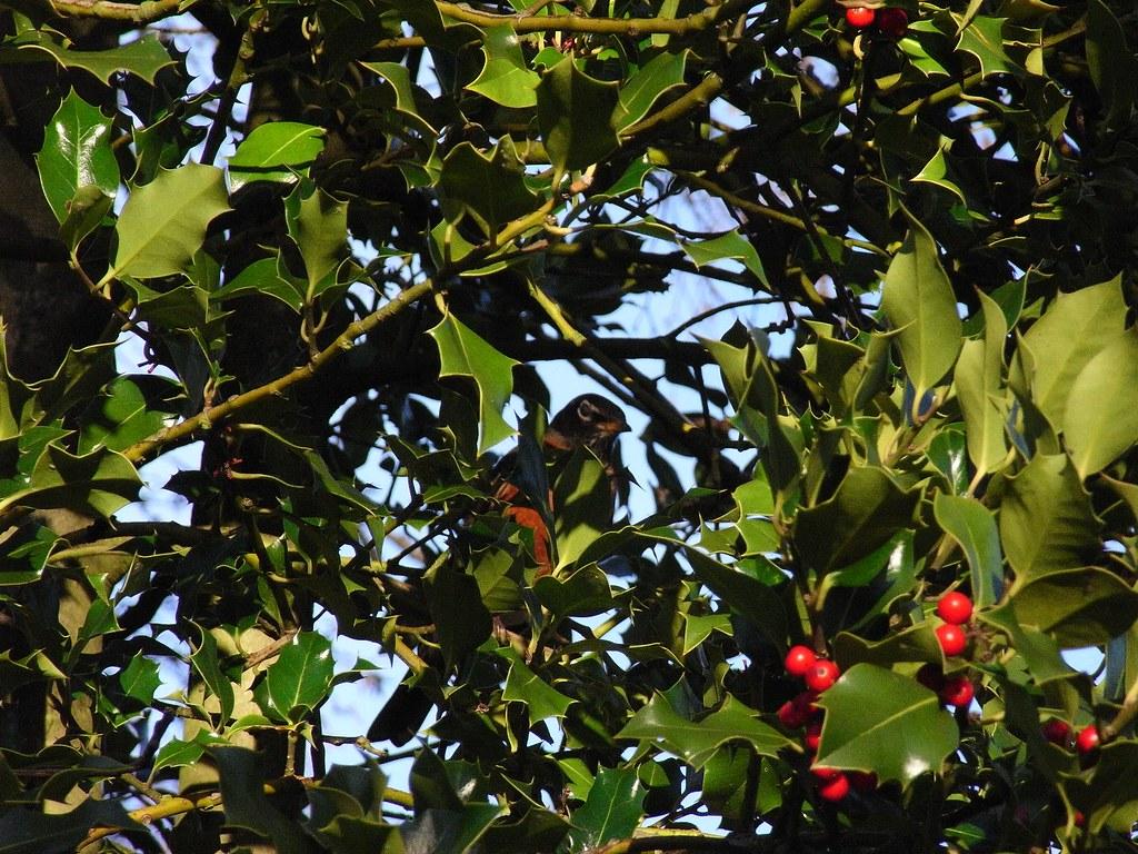 American Robin in Paulik Garden