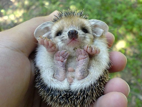 baby hedgehog by you.