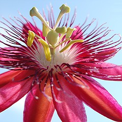 Rosy purple Passion flower and pale blue sky (jungle mama) Tags: blue sky usa flower florida miami pistil stamen pinkflower passion tropical passiflora pollen passionflower redflower rosy anther naturesfinest passionvine purplepassion purplepassionflower supershot topshots redpassionflower mywinners platinumphoto natureselegantshots naturethroughthelens rubyphotographer mimamorflowers dragondaggerphoto thebestofmimamorsgroups coth5 naturesgreenpeace fleursetpaysages purplefilaments flickrsportal biscayneparkflorida storyofpassionvine passionflowerandchristinity