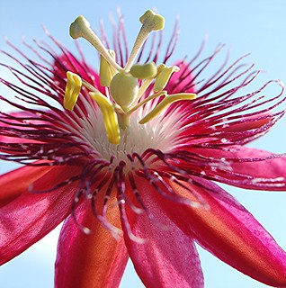 Rosy purple Passion flower and pale blue sky