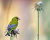 carduelis (aziouezmazouz) Tags: bird lights colours bokeh birdwatcher bellissima vibrantcolours canon400mm thebestofday gününeniyisi