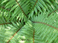 Japanischer Glanz-Schildfarn (Rosmarie Voegtli) Tags: fern green forest grn wald farn worldenvironmentday scavchal