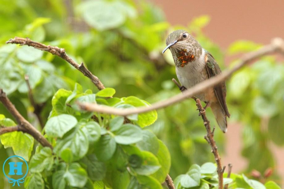 Allen's Hummingbird 061811-2