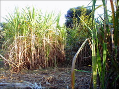 Sugar Cane (M.Rizwan Rafique) Tags: pakistan plants village sugarcane pakistanvillage