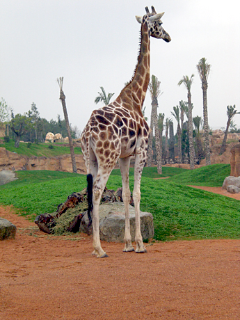 giraffe-valencia-zoo