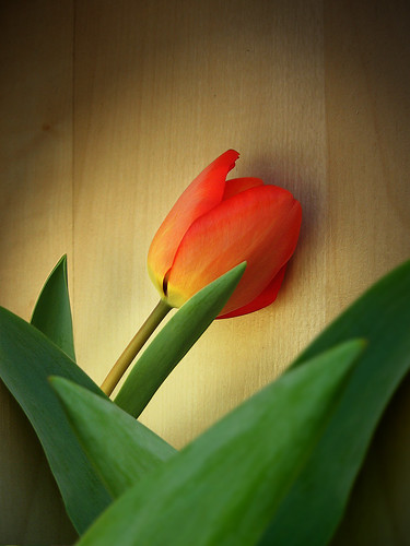 secondTulip2