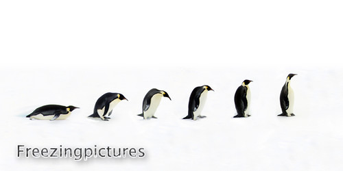 Penguin Evolution | Flickr - Photo Sharing!