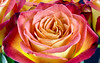 Rose 45, Colorado (sethgoldstein72) Tags: flowers nature nikon searchthebest beautifulflowers floralia fotoclub floralfantasy flowersflowersflowers kartpostal fantasticflower bforbeauty worldclassimage flowersarebeautiful macroengeneral natureislovely mosfotogarten arealgem auniverseofflowers flickrflorescloseupmacros exceptionalflowers amazingdetails onnevoitbienquaveclecoeur photographyanddreams creativeyeuniverse allaboutflowers flowersonflickr coloursofflowers lovetheworldofnaturegroup animalflowerscloseups dreamsilldream eyesthetique anythingessentialisinvisibletotheeyes lovelyuniverse solidaritytochile¡¡¡¡ gorgeousimagesaward jaideuxamours❤ pasionporlasrosas themostbeautifulmacroimages asmaisbelasimagensmacro beautiful♥composition ☼☼☼hellofriend☼☼☼ floraaroundtheworld worshipofnature fffioriefarfalleflowersbutterflys clubedaamizadecluboffriendship besosdeamorkissesoflove fotografiaysueños ©yourbestoftodaythroughmyeyes