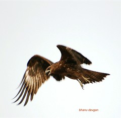 Eagle in flight (Bhanu Devgan) Tags: bird eagle flight