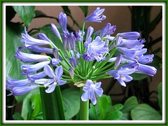 Agapanthus praecox (African Blue Lily) flowering again, shot April 2008!