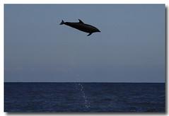 Tursiops truncatus (PedroMadruga) Tags: ocean sea wild mammal jump dolphin wildlife pico d200 azores açores golfinho cetaceo cetacean tonina openocean roaz toninha pedromadruga southofpico toninhabrava suldopico