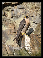 ADULT MALE PEREGRINE (1000 MM LENS HAND HELD) CROPPED (spw6156) Tags: camera copyright male club digital lens woods hand adult steve cropped mm held nationaltrust soe 1000 falcons raptors waterhouse peregrine plymbridge digitalcameraclub abigfave cannquarry spw6156 stevewaterhouse plymperegrineproject plymbridgeperegrinefalcons copyrightstevewaterhouse