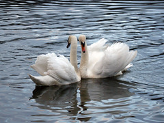 Swans on Fendrod Lake, Swansea, Wales, UK (ynysforgan_jack) Tags: pictures white lake bird water birds swansea wales photo swan wings image photos ripple cymru wing beak feathers picture feather images swans ripples welsh liquid avian fendrod